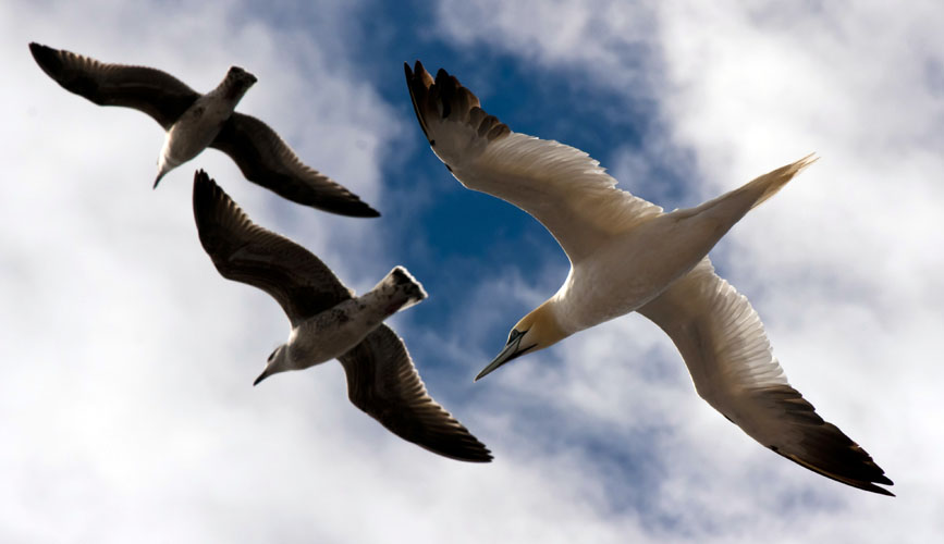 Gannett and Two Gulls